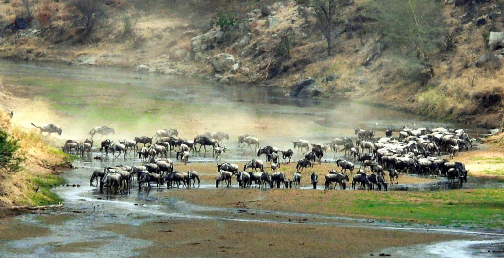Wildebeast Crossing Tarangire River Tanzania Africa Safari Migration CB